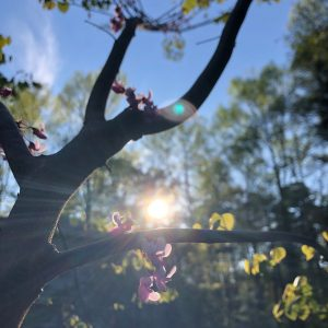 Sunny redbud tree on Margot Lester's Word Factory blog